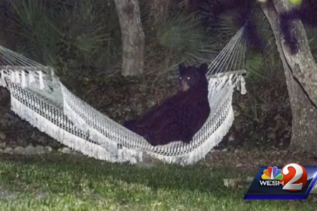 aaa_Black-bear-sleeping-in-hammock